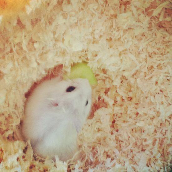 Adorable Animal Animal Themes Cute Hamster Hamster Love I Miss You No People One Animal Pets
