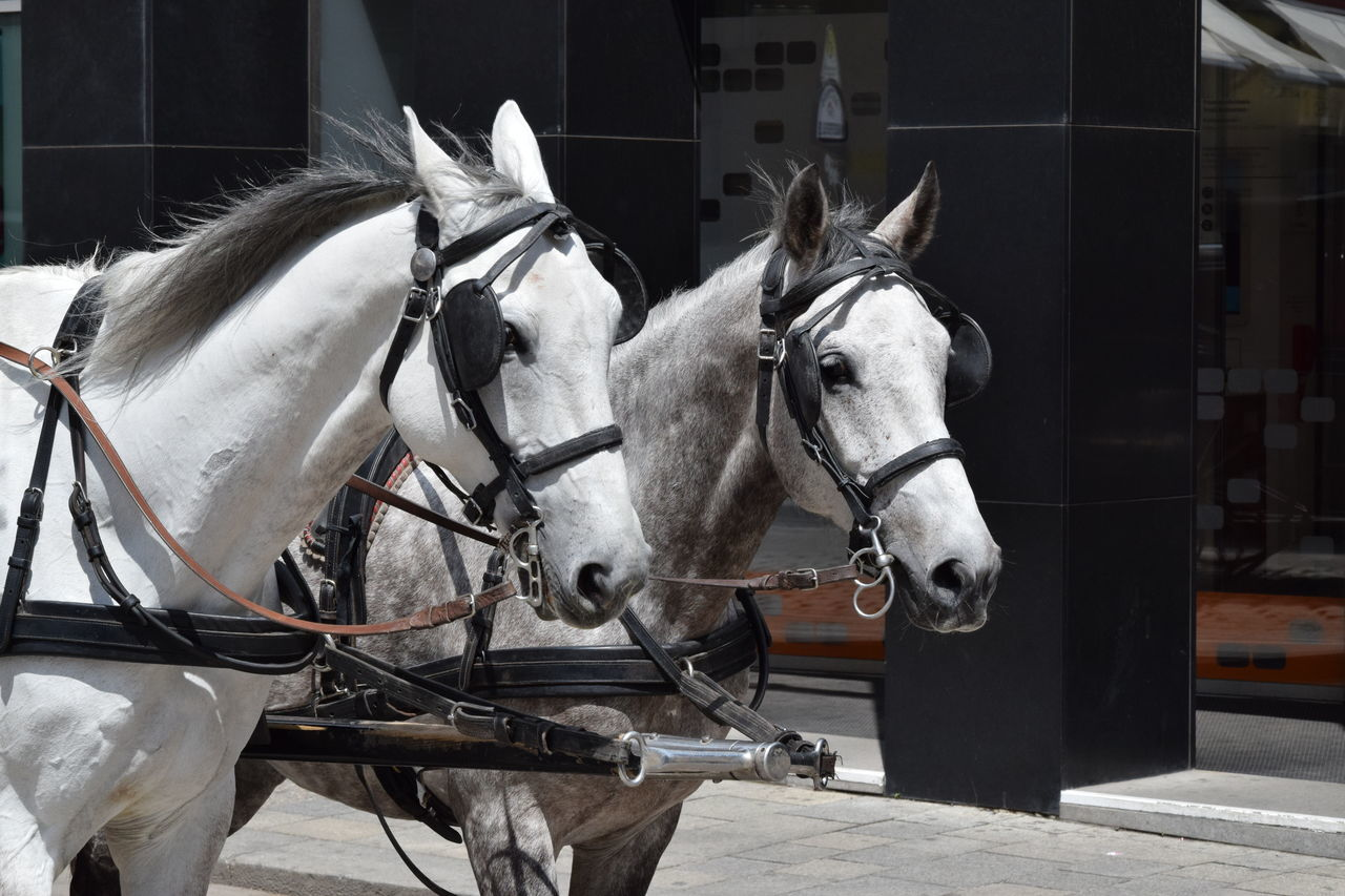 Animal Themes Bridle Day Domestic Animals Horse Mammal No People Outdoors Street Trappings Two Horses