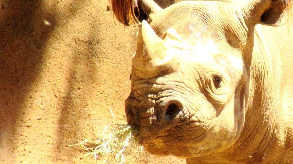 Animal Themes One Animal Close-up No People Animal Body Part Nature Animal Wildlife Outdoors Endangered Animals Endangered Species Zoo Animals  Black Rhino