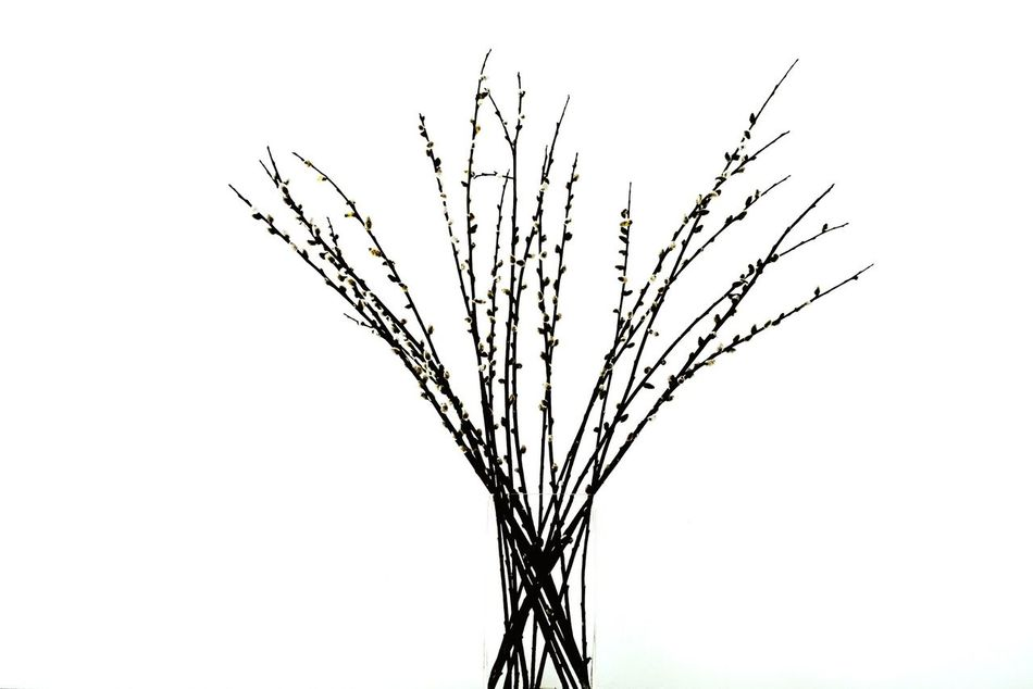 Catkin ... Catkin Twig Minimalism White Collection White Album Nature Nature_collection Growth Nature Branch No People Close-up Pure