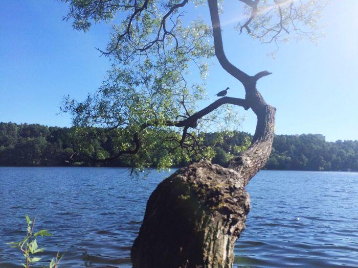 Dove in Tree Swedish Baltic Sea Seaside