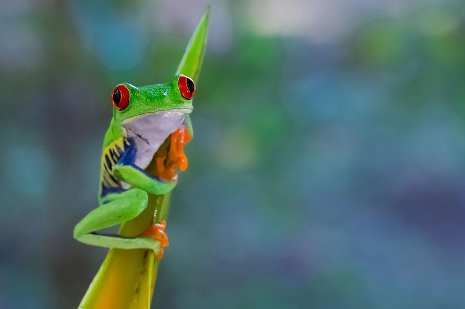 Beautiful stock photos of frosch,  Amphibian,  Animal Themes,  Animal Wildlife,  Beauty In Nature