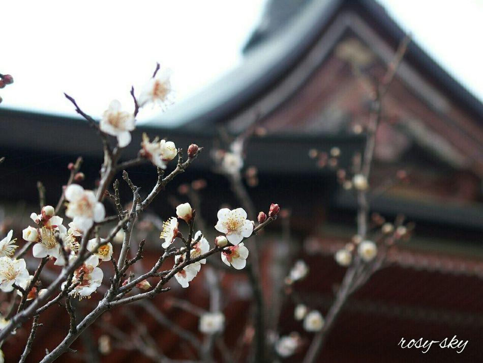 Plum Blossam Japanese Plum Blossom