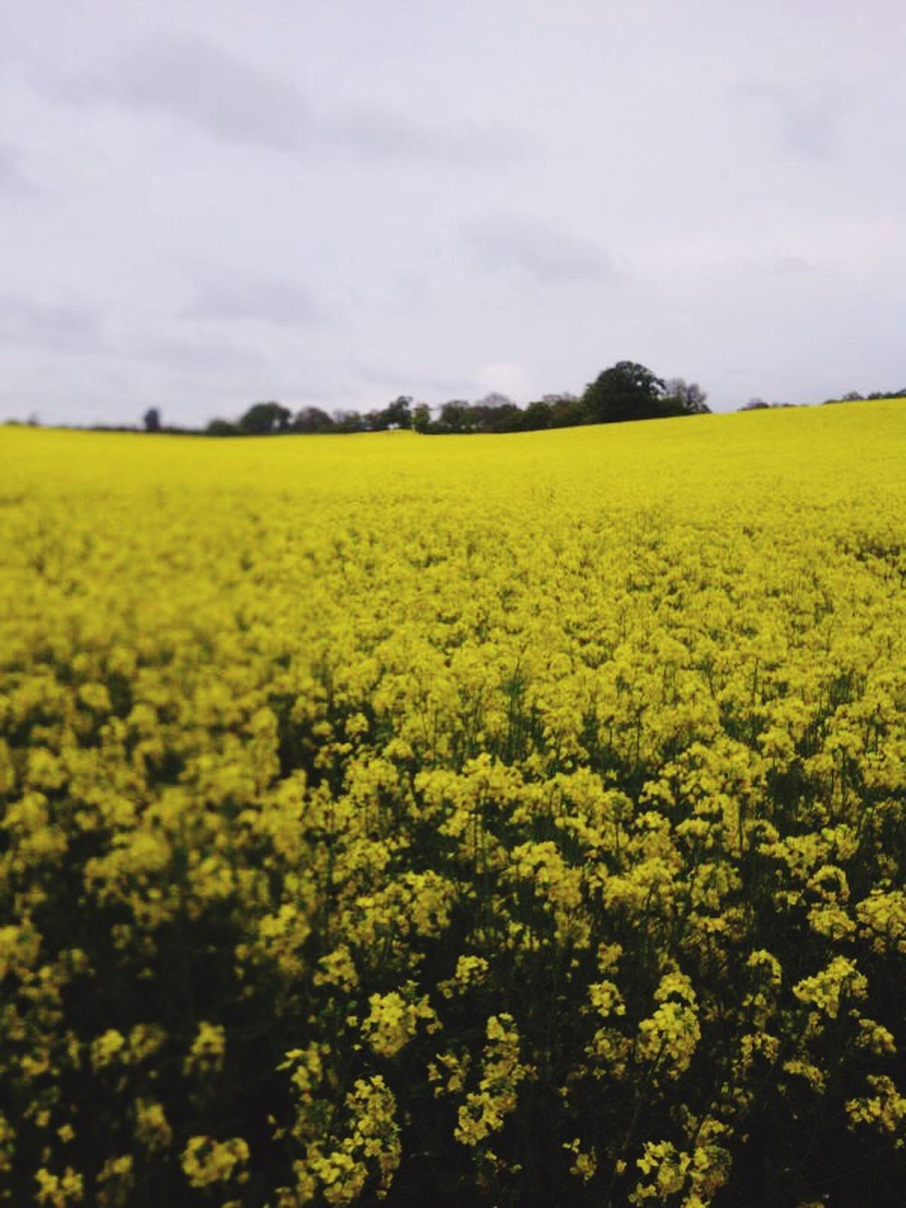 Yellow Field English Country Side London Nature Photography Nature Showcase March Landscape With Whitewall