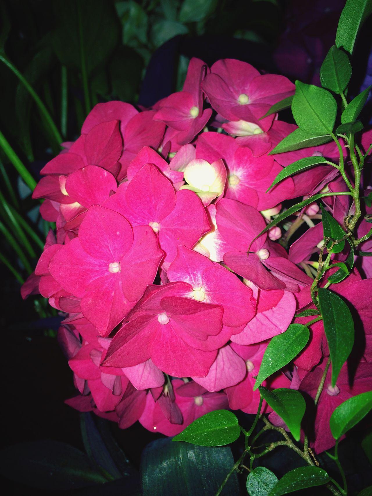 Kwiaty Hortensie