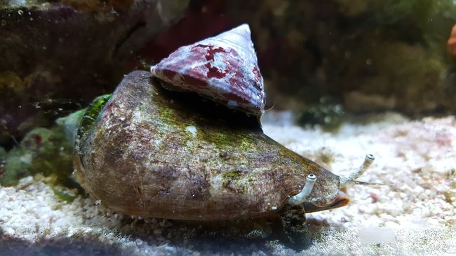 Snails Pace Snail Snails Snails🐌 Snail Shells Hitchhiking Snail Hitchiker Hitchhiker Aquarium Life Aquatic Aquatic Life Sea Ocean Saltwater Aquarium Marine Life Marine Aquarium Conch Travel