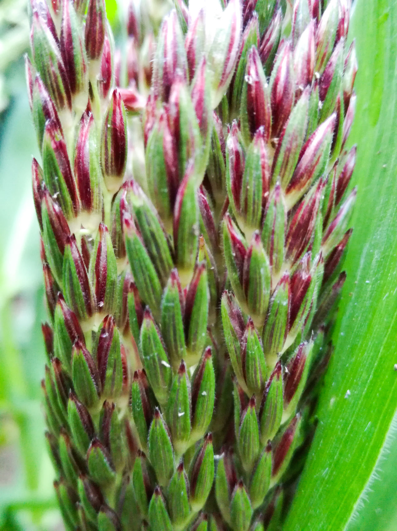 Male Flower of the Rainbow Corn plant, ready rain down its Pollen ... Growth Plant Close-up Green Color Sharp Corn Beauty In Nature Pollination Pollinating Agriculture Outdoors Day Garden Gardening Beauty In Nature