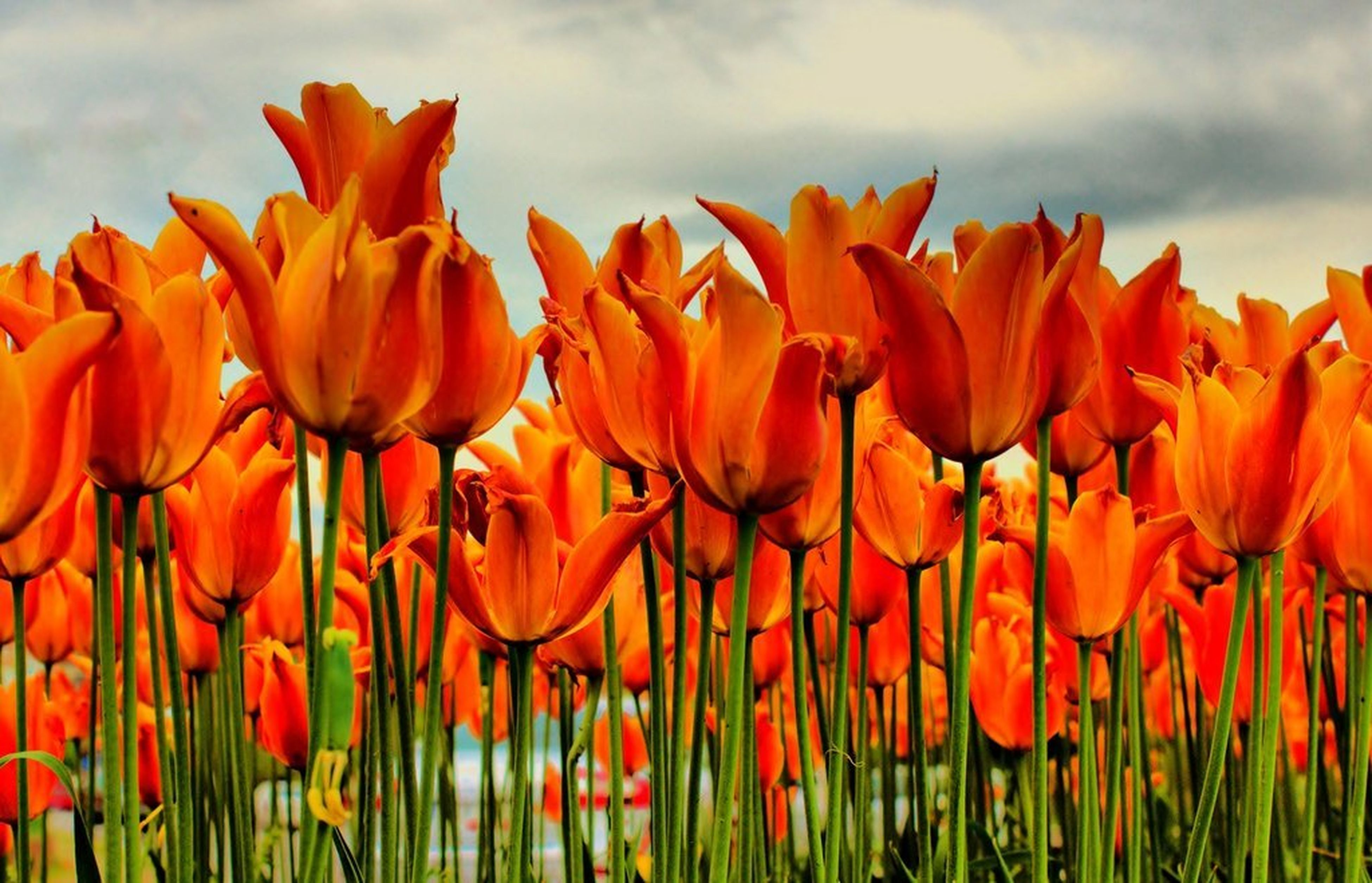 flower, growth, sky, field, beauty in nature, freshness, cloud - sky, tulip, nature, fragility, plant, petal, orange color, blooming, abundance, cloudy, flower head, red, rural scene, agriculture
