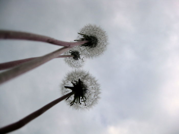 Icarus 2: don't we all want to see the light?! Abstract Botany Dandelion Dandelions Dandelionseed Exploding Eye4photography  EyeEm Best Shots EyeEm Nature Lover Firework Follow The Sun Fragility From My Point Of View Getting Inspired Growth Icarus-imagination Low Angle View Lying On The Grass My Point Of View Sky_collection Sky_collection Skylovers Skyscape Softness Upclose
