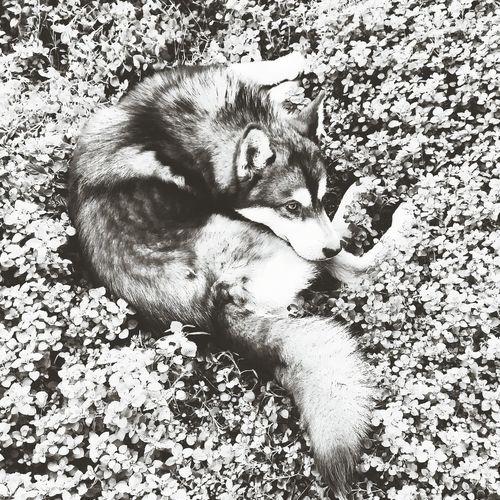 4 leaf wolf! Wolf Garden Dog Husky