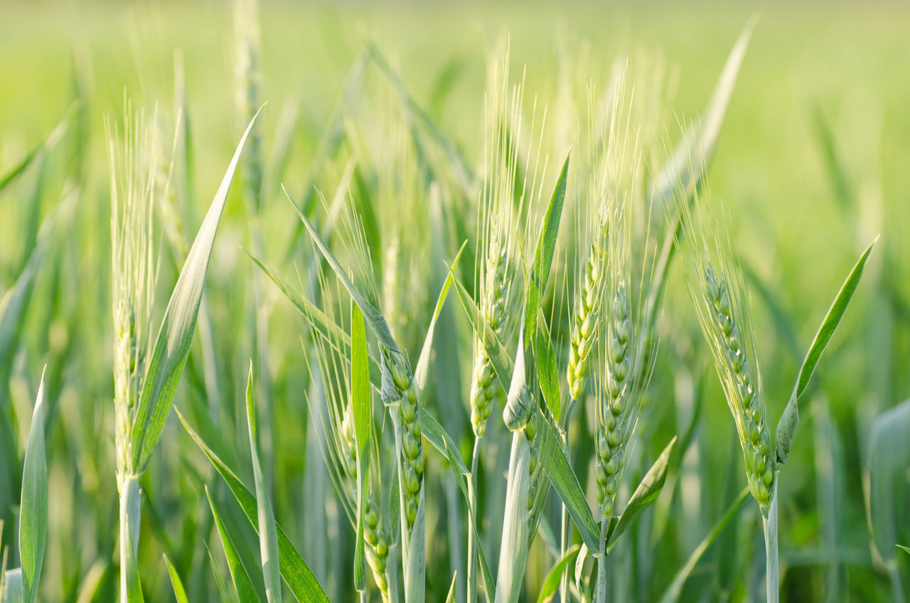 Agriculture Barley Field Beauty In Nature Cereal Plant Close-up Crop  Crop  Day Ear Of Wheat Field Freshness Grass Green Green Color Growth Nature No People Outdoors Plant Tranquility Wheat Wheat Field