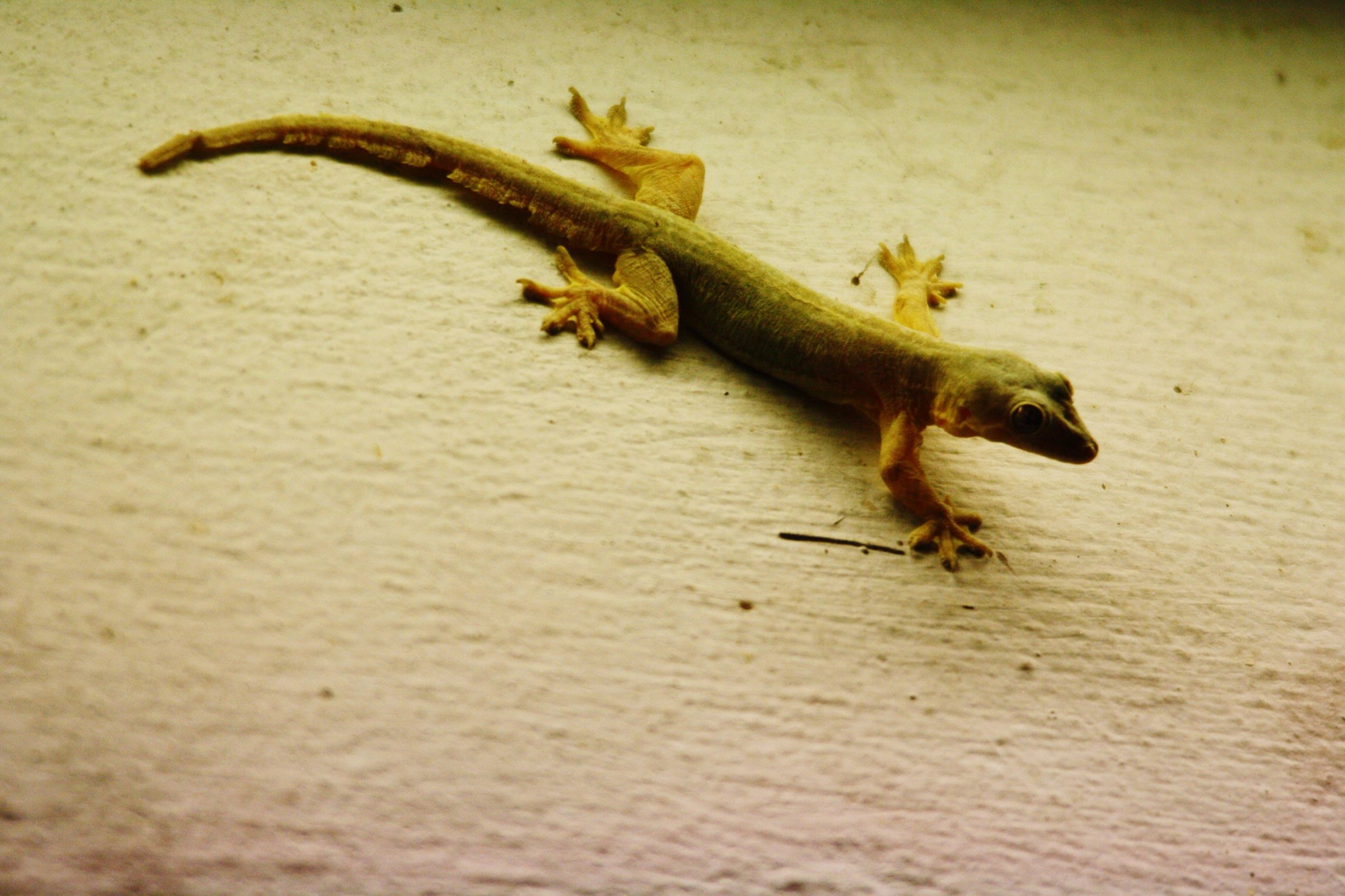 animal themes, one animal, animals in the wild, wildlife, lizard, full length, reptile, side view, no people, nature, high angle view, zoology, selective focus, indoors, day, close-up, mammal, vertebrate, two animals