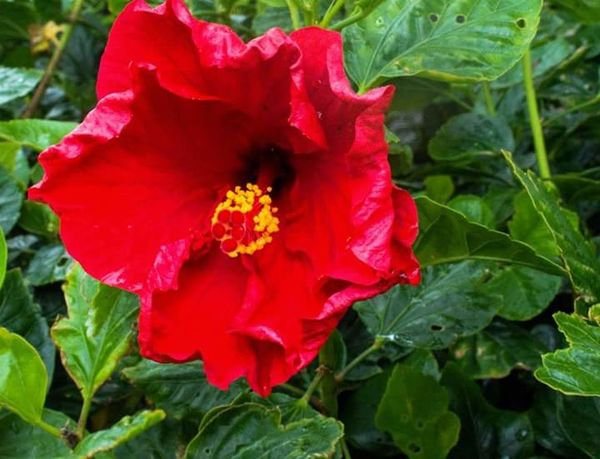 Red Petal Flower Leaf Plant Beauty In Nature Freshness Outdoors Flower Head Close-up