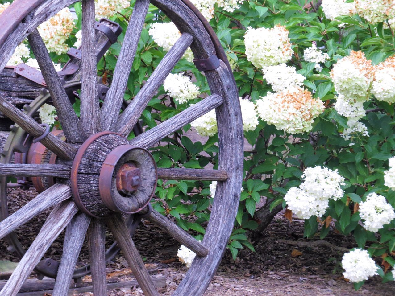 Beauty In Nature Close-up Day Deterioration Flower Grass Green Color Growth Nature No People Old Old Wagon Wheel In The Garden Outdoors Plant Tranquility Wheel Wood - Material
