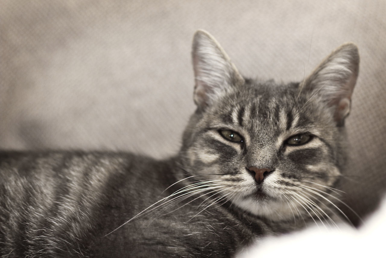 one animal, domestic cat, animal themes, pets, mammal, feline, domestic animals, whisker, looking at camera, close-up, portrait, no people, indoors, day