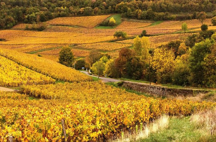 Fall colors in the vineyards Autumn Landscape Nature Beauty In Nature Scenics Tranquil Scene Outdoors Vines Vineyard Vineyards  Vineyards In Autumn Burgundy Bourgogne France Landscapes