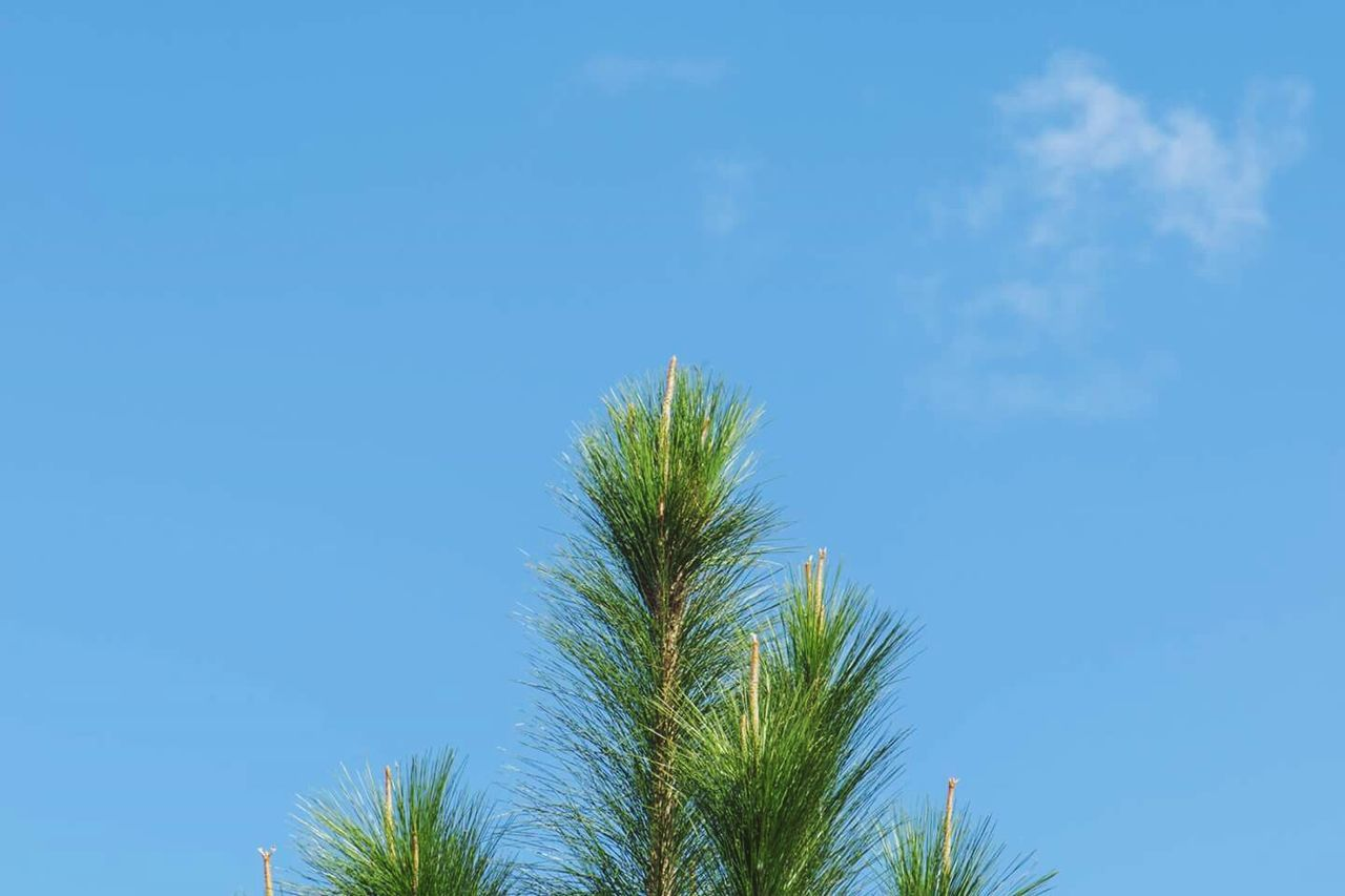 Tree Sky Tranquility No People Beauty In Nature Clear Sky Outdoors Nature Photography Nature_collection Colors Of Nature Clouds Branches Blue Sky Green Color
