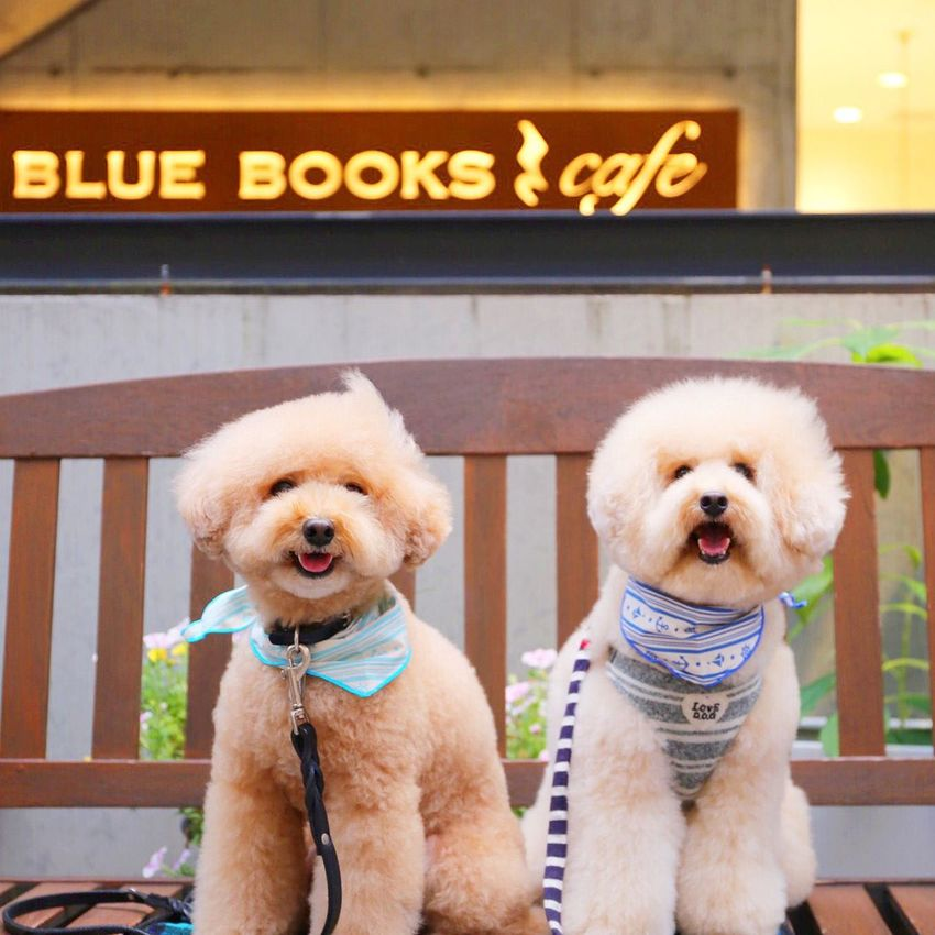 Toypoodle DogLove I Love My Dog Poodle Love My Toypoodle Cutedogs Japan Dog Smile Dogs