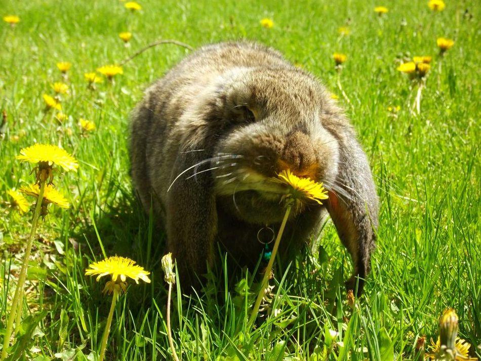 French Lop Rabbit Milo & Me Rabbit