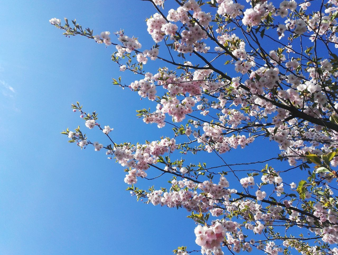 Tree Blue Flower Sky Clear Sky Springtime Blossom Low Angle View Nature Growth Beauty In Nature Day Fragility Freshness Happiness Sunlight City Sky_collection Tranquility Sakura Blossom Park Sakura