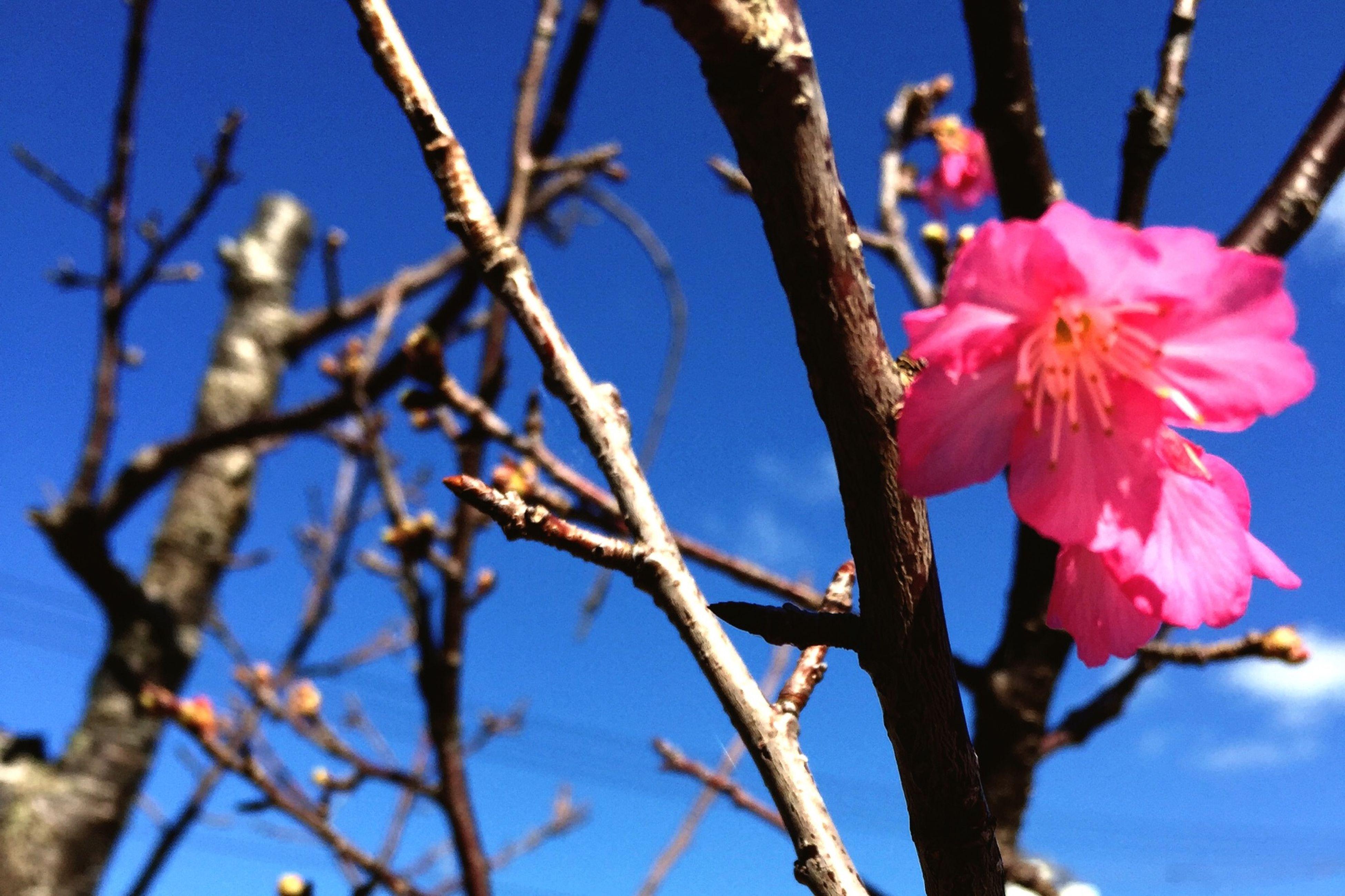一番桜 Flower Pink Okinawa Spring