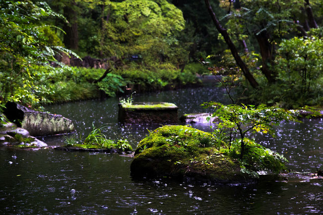 Beauty In Nature Branch Day Forest Growth Idyllic Japanese Culture Japanese Garden Nature Outdoors Pond Rain Summer Tranquility Tree Tree Trunk Water Waterfront Zen Garden