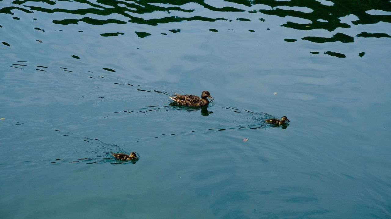Animal Themes Animal Wildlife Animals In The Wild Ducks In Water Lake Nature No People Outdoors Water