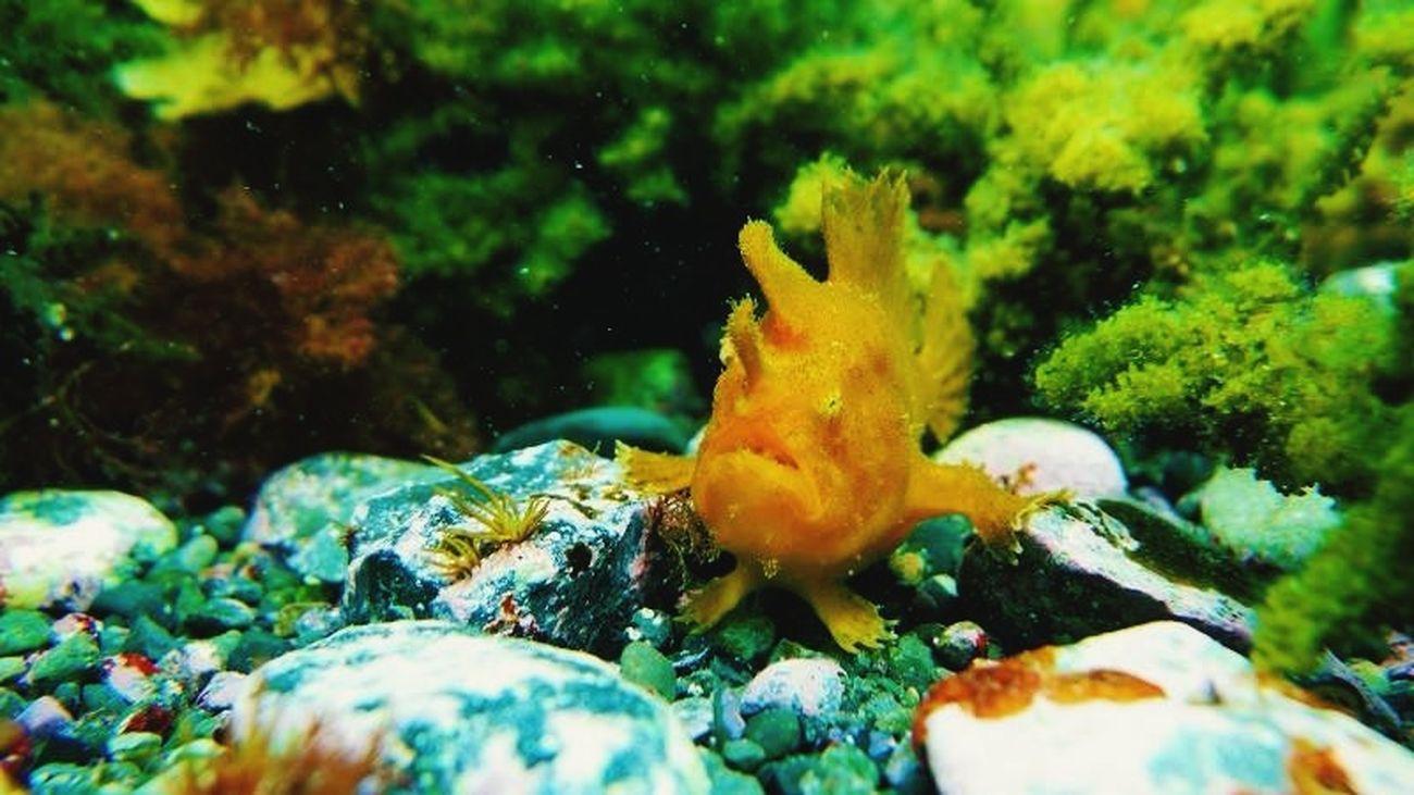 frogfish SCUBA Underthesea Under The Sea Scuba Diving Diving Scubadiving Sea Izu Fish