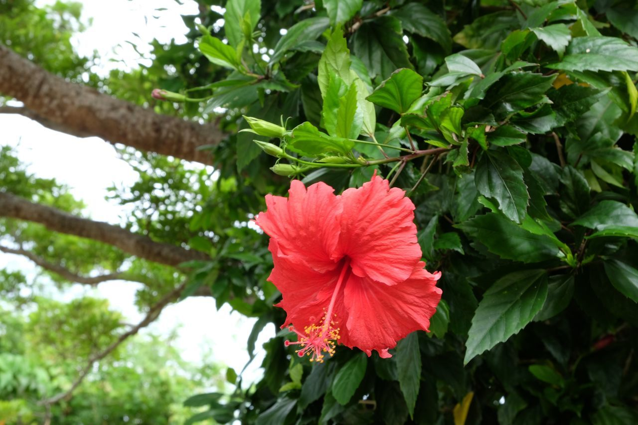 Close-Up Of Red Hibiscus Blooming On Tree
