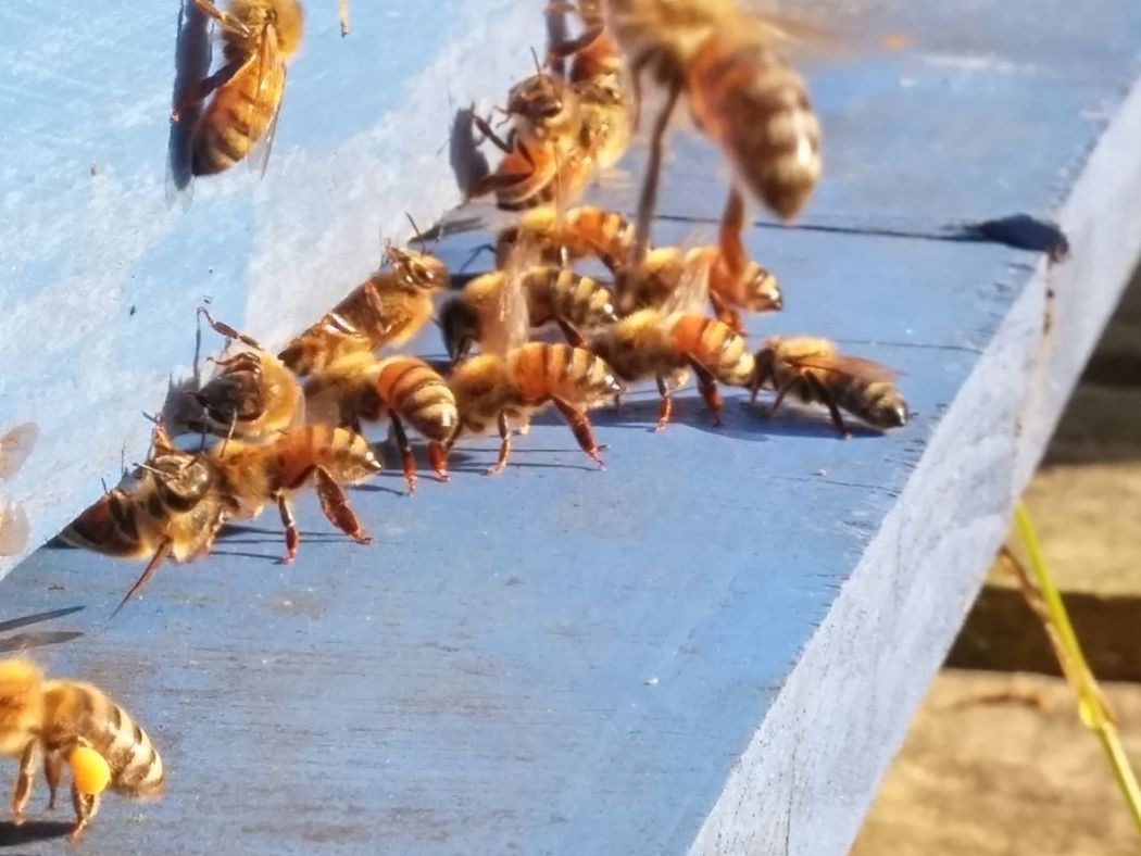 😍🐝🍯To most of you, this probaly looks like a crappy blurry photo. 😍🐝🍯To me tho, this is heaven. Ive been sitting next to my hive, observing these bees! I havent had bees since my last spring. (They swarmed.) Fortune has smiled upon me. 😍🐝🍯These lovely ladies have turned up, to my empty hive and have made themselves quite at home. 😍🐝🍯Here they are fanning the hive...and the scent is just so intoxicating!! 🍯🐝🍯🐝I cant even begin to describe it. Sweetest smell ever!!!😍🐝🍯Women Who Inspire You Through My Eyes I WAS HERE Right Now Hamilton, New Zealand New Zealand Photography Tranquility Outdoors Low Angle View Loving My Bees Bees Beesofeyeem Fanning Glorious Scent Beehive Save The Bees Motion Close-up Spring In New Zealand New Zealand Bees Pollen Thought Of The Day . 19°C 6pm Nov 9 2016