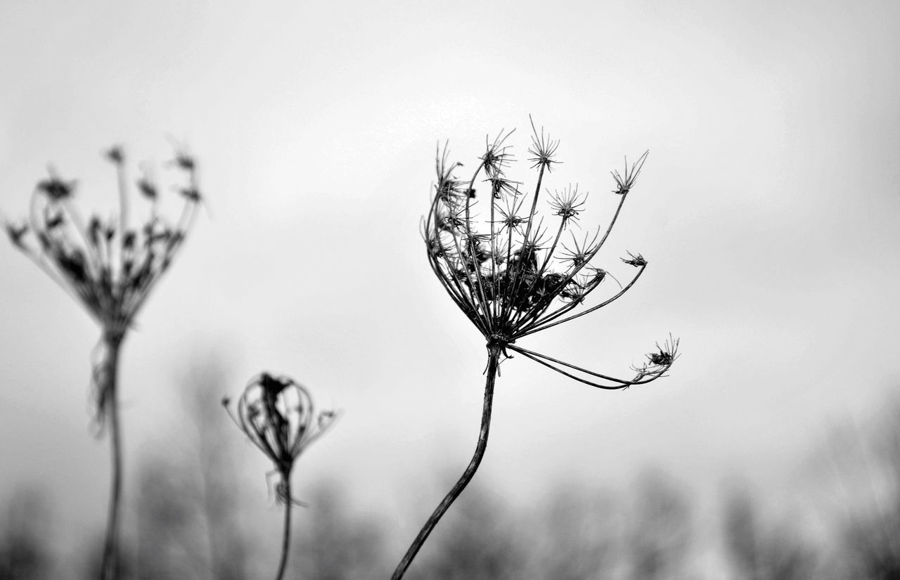 Dry Weeds Beauty In Nature Black & White Black And White Blackandwhite Close-up Day Flower Flower Head Focus On Foreground Fragility Freshness Growth Landscape Landscape_Collection Monochrome Nature No People Outdoors Plant Sky Thistle