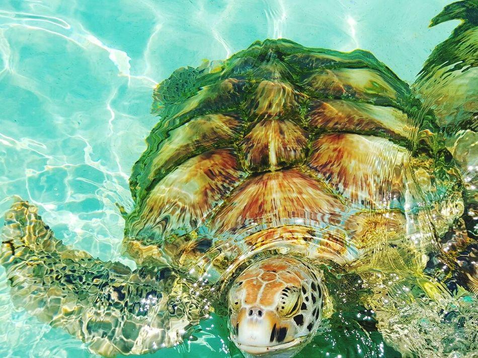 Hello there big guy! 🐢 Sobig Sobold Sobeautiful Turtles Grandcayman Island Carribean