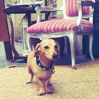Thank u for posing ! #dachshund of the hotel #sausagedog ;p #Barcelona Barcelona Dachshund Sausagedog