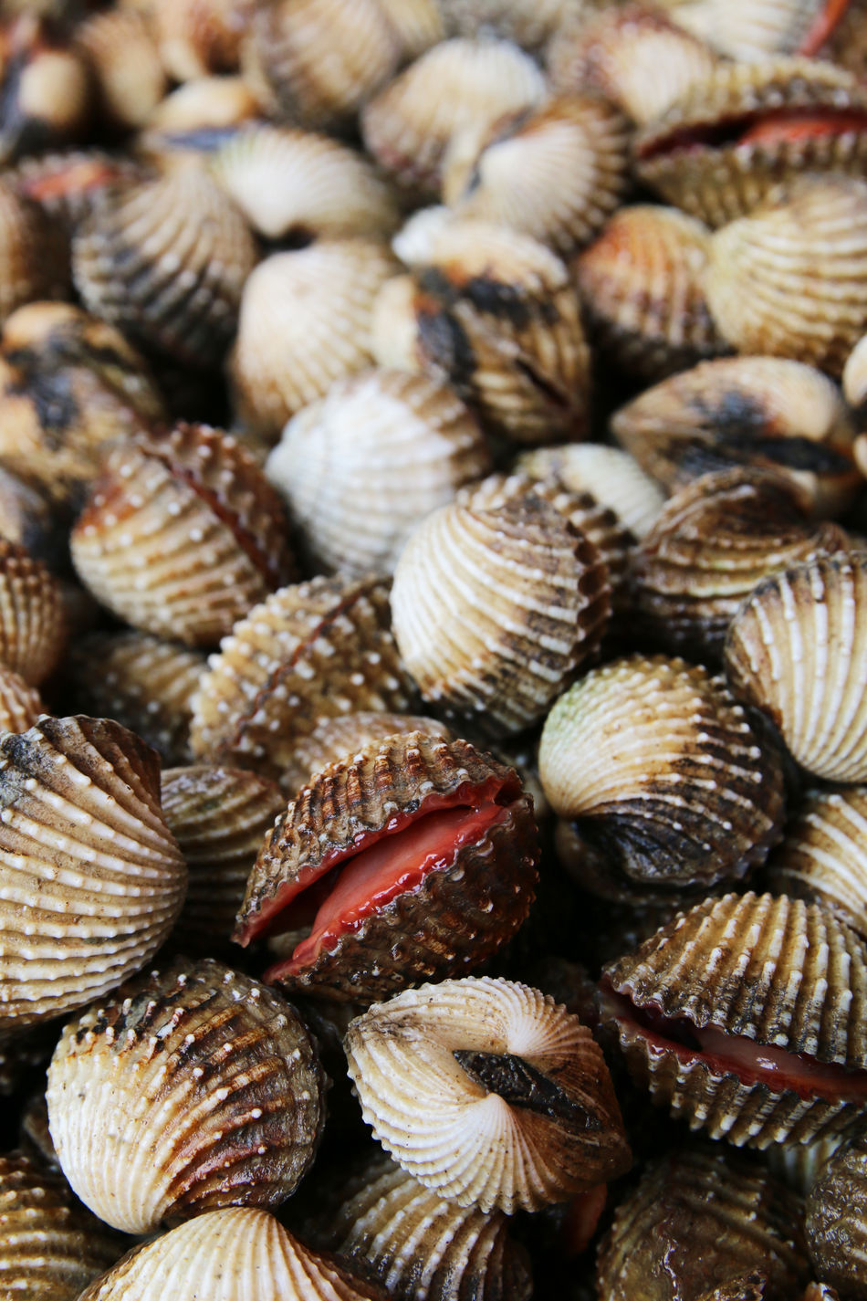 Blood cockles Allergic Allergy Bivalve Blood Clams Cockles Commercial Farming Food Freshness Hepatitis Molusk Red Tide Seafood Seashell SHELLFISH