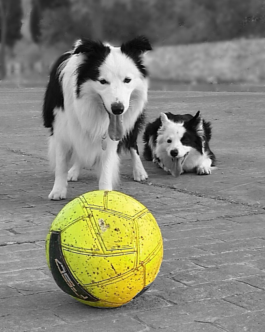 dog, pets, animal themes, domestic animals, one animal, no people, looking at camera, ball, portrait, mammal, day, outdoors