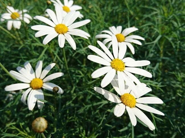 Flower Freshness Growth Petal Daisy Flower Head Pollen Day Plant Nature Dawstone Park Heswall