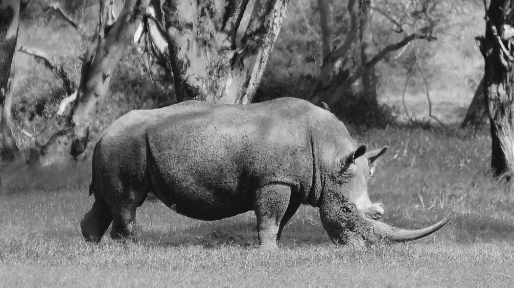 Kenya Animal Themes Animals In The Wild Conservancy Field Grass Kenya Mammal Nature No People One Animal Rhino Safari Animals Tree