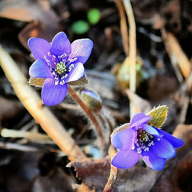 Finally, one of the first spring flowers in Sweden. Looking forward to all the flowers and colours in spring and summertime! Spring Flowers EyeEm Flower Macro Nature EyeEm Nature Lover Eye4photography  Nikon Springtime Open Edit Nature_collection
