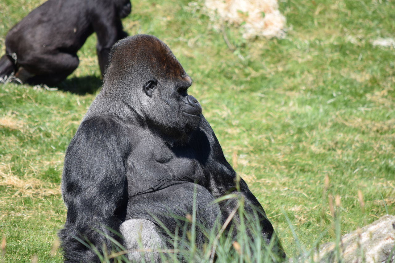 gorilla Animal Themes Animal Wildlife Animals In The Wild Beauval Close-up Day Female Gorilla Gorille Grass Green Male Mammal Monkey Nature No People One Animal Outdoors Power Primate Sitting Strong Zoo