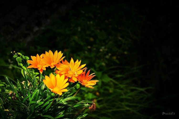 Flower Freshness Fragility Growth Petal Flower Head Beauty In Nature Yellow Blooming Plant Nature Close-up In Bloom Orange Color Springtime Day Blossom Vibrant Color Focus On Foreground Botany