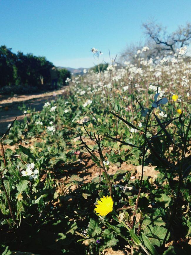 Flores sobre campo de almendros Naquera First Eyeem Photo
