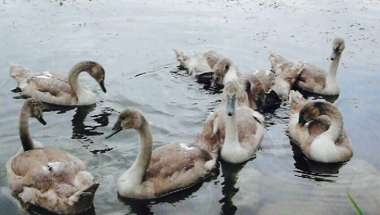 Klimpi-klimperator KLIMPI KLIMPERATOR Moments Moments-2015 Eyeem Awards Moment Swans ❤ Schwan  Swan EyeEm Best Shots - Nature Swans Swantastic Schwanenfamilie Schwäne