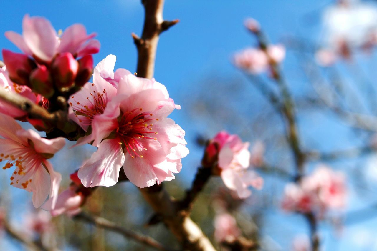 Almond Blossom Beauty In Nature Blossom Springtime Nature Growth Close-up Pink Color Plant Branch Fragility Almond Tree Freshness Outdoors Day Canonphotography Check This Out EyeEm Nature Lover Walking Around Taking Pictures Beliebte Fotos Blossoms  Spring Has Arrived Spring Blossoms