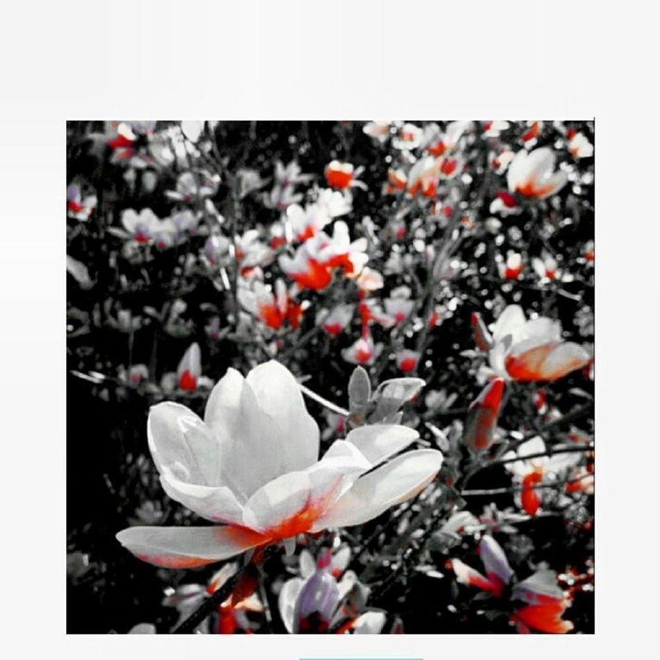Flowers Whiteandred Cberryblossom Pretty