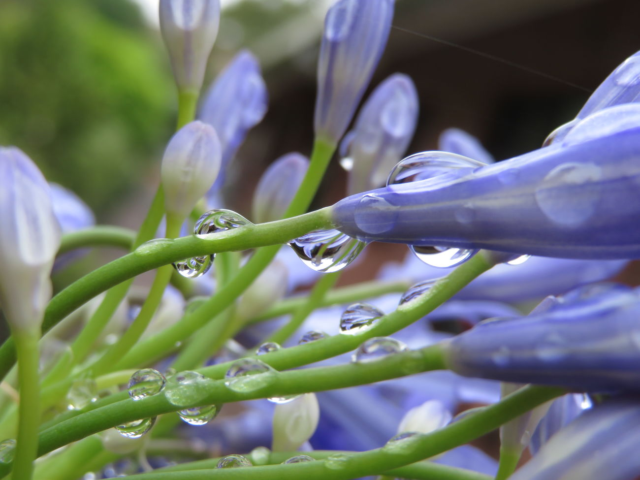 More agapanthath...in the water drops too💧🌸 Agapanthus Flower Nature No Edit/no Filter Beauty In Nature Purple Flower Head Water Drops Nature Fragility Beauty In Nature In My Garden Macro