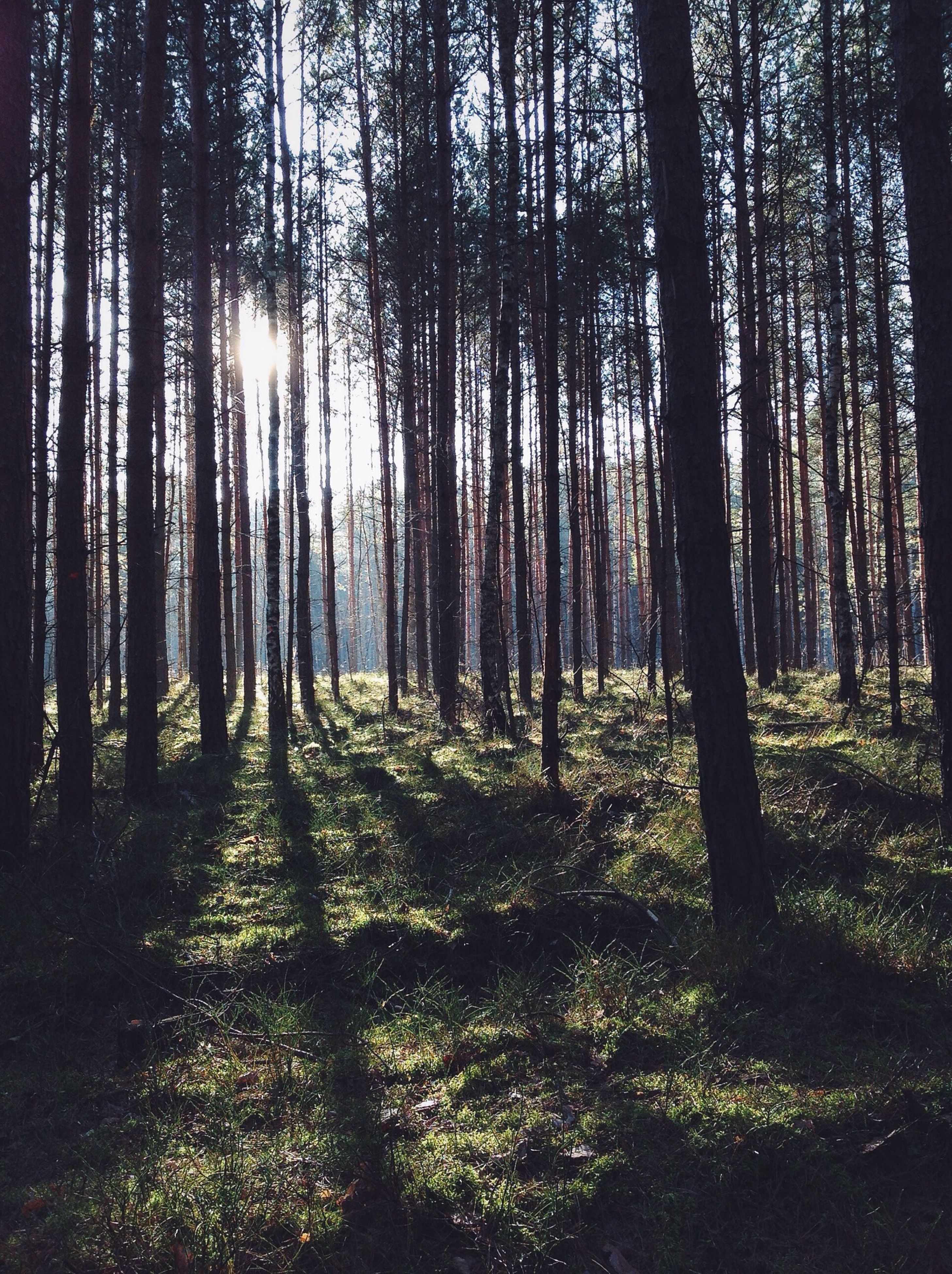 tree, forest, tree trunk, tranquility, woodland, growth, tranquil scene, sunlight, nature, beauty in nature, sun, sunbeam, scenics, lens flare, landscape, non-urban scene, back lit, outdoors, no people, grass