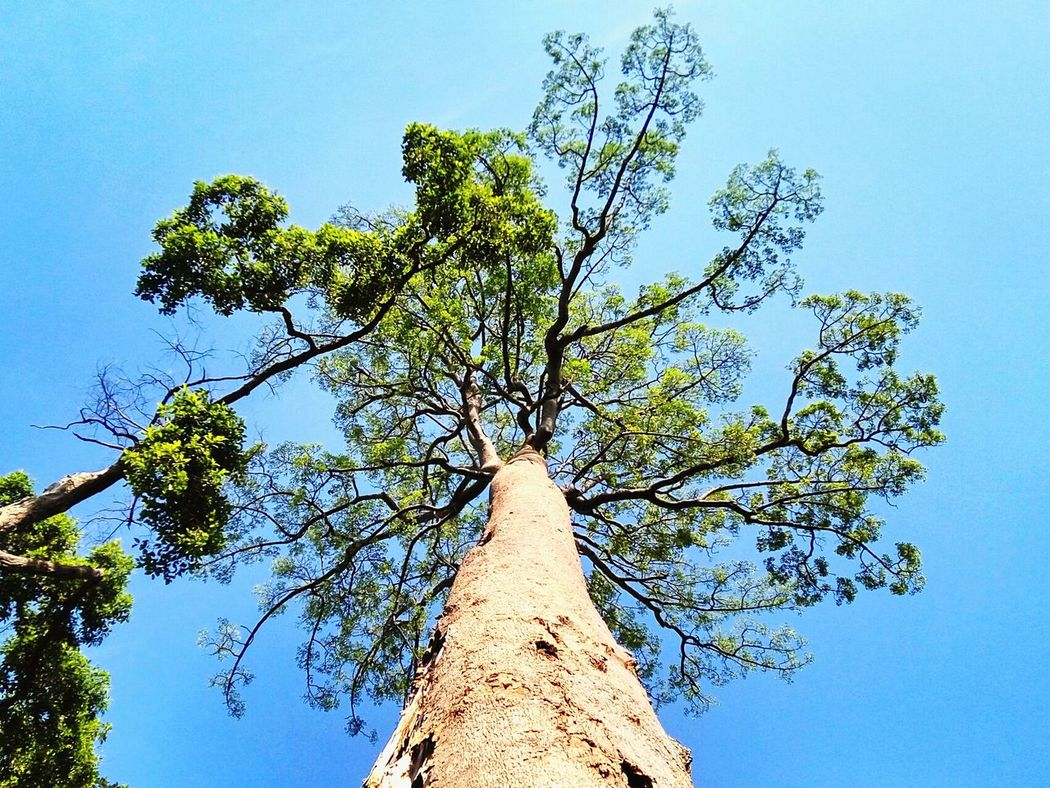 Jelutong tree in Malaysian jungle Tree Low Angle View Growth Sky No People Clear Sky Nature Agriculture Outdoors Day Branches And Leaves Beauty In Nature Single Tree Tall Up Jungle Malaysia Sungai Menyala Forest Port Dickson Tree Trunk