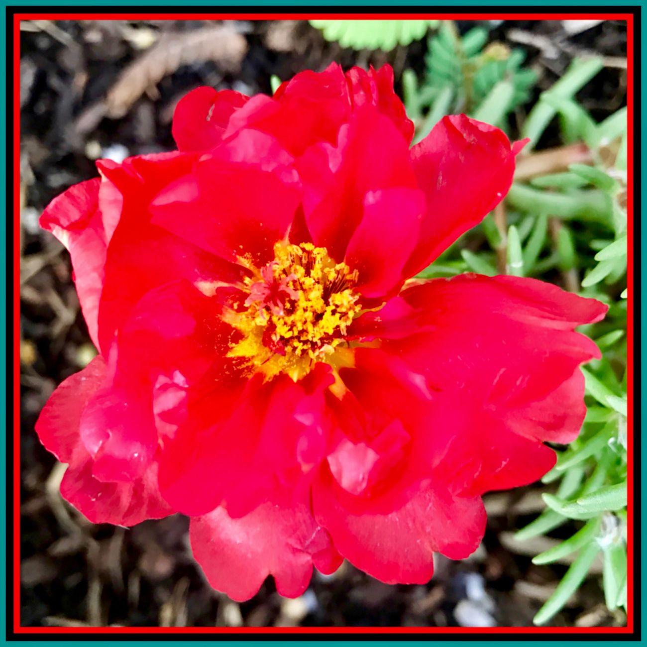 Just blooming 🍃🌹🍃 Newflower RedFlower Blooming Nature Garden Plants Eyeem Flowers 🍃🌹🍃
