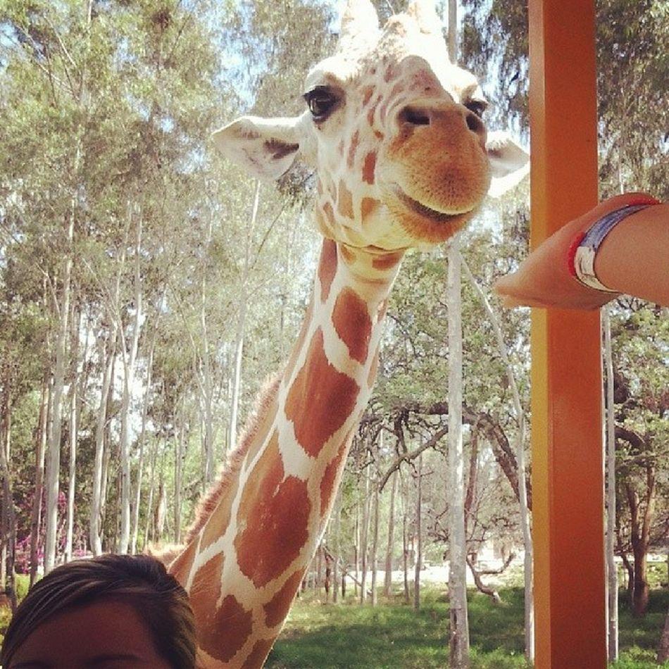 Hermosa mi jirafa ZooGuadalajara