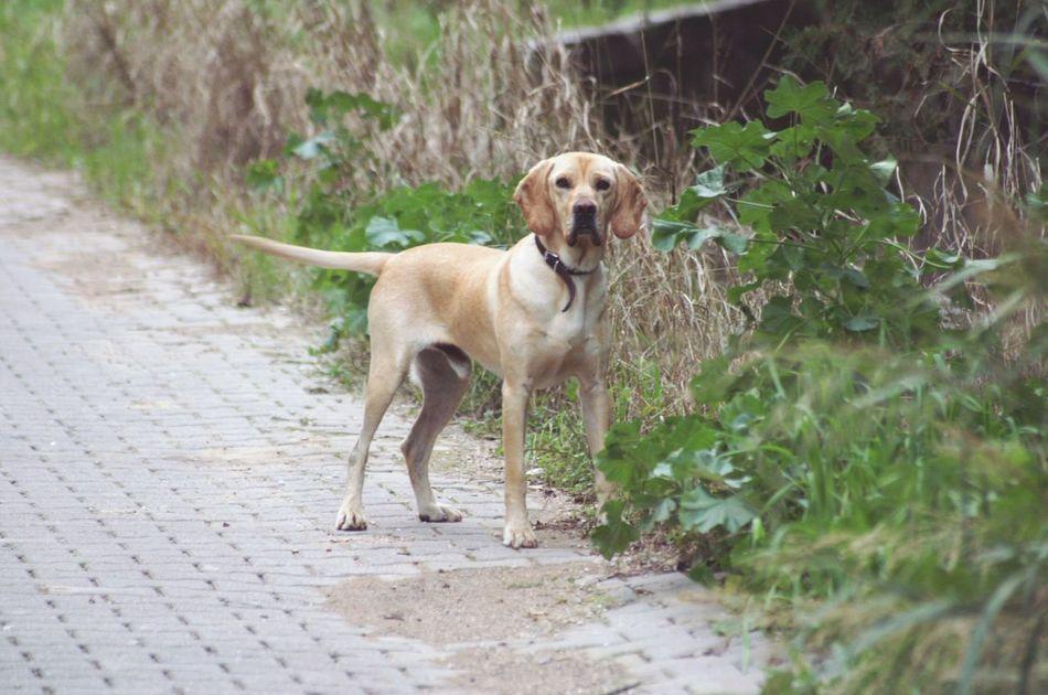 Hello World This Is My New Friend♡ 'NICE' a American Gointer Dog♡ = English Pointer & Golden Retriever [ Dog | Hybrid Dog ] Turkey Street Dog i find him on a Beach in Kumköy